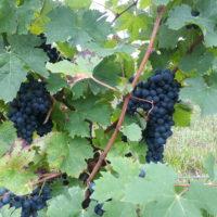 L'abouriou, cépage insolite des Côtes du Marmandais
